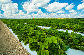 Landscape view of a freshly growing strawberry field.