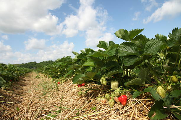 strawberry field  strawberry field stock pictures, royalty-free photos & images