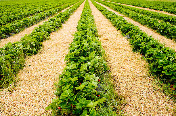 Strawberry field Strawberry field with rows of ripe growth. strawberry field stock pictures, royalty-free photos & images