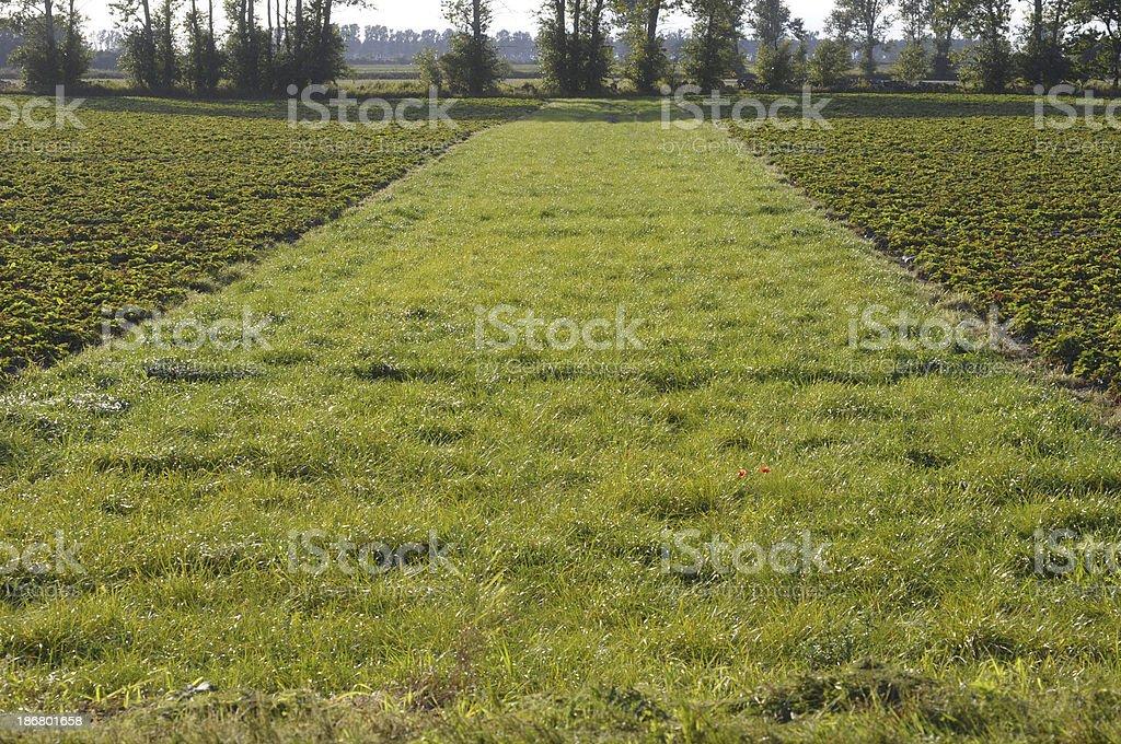 Strawberry Field, royalty-free stock photo