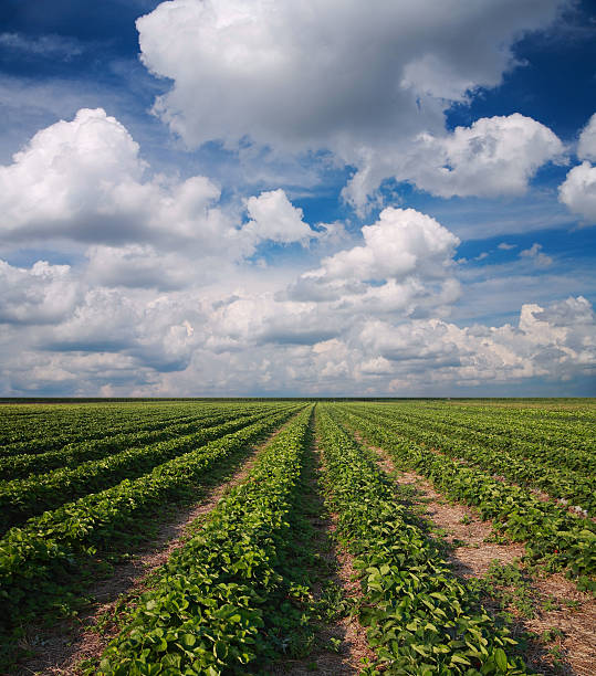 Strawberry field Landscapes, strawberry field against the sky with clouds strawberry field stock pictures, royalty-free photos & images