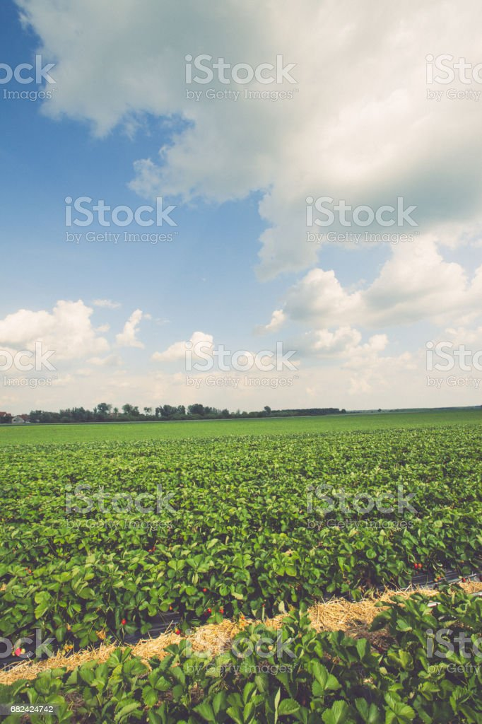 Strawberry field royalty-free stock photo