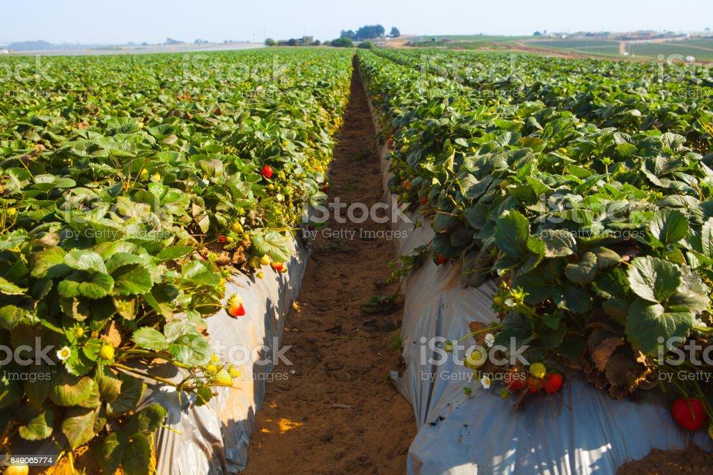 Strawberry field - foto stock