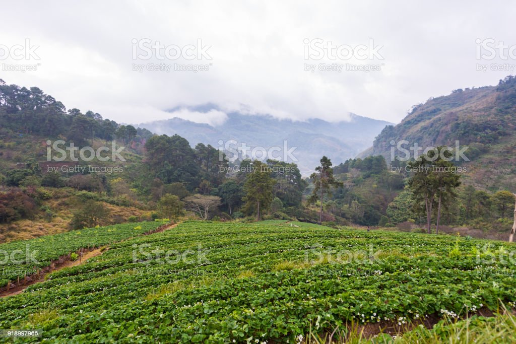 Strawberry field with mountains and fog at Angkhang hill, Chiangmai, Thailand stock photo