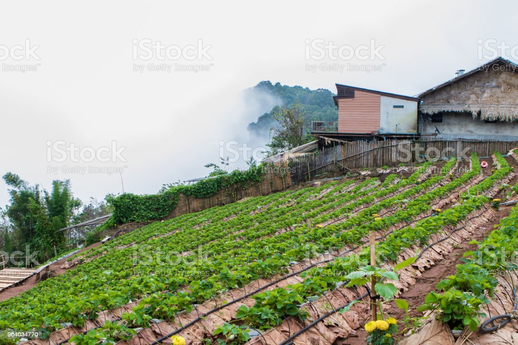 Strawberry Fields and Mist on the Hill - Royalty-free Autumn Stock Photo