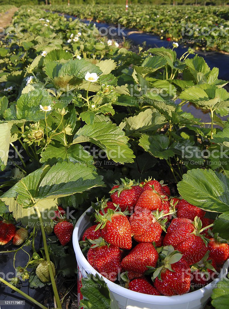 Strawberry Fields Forever royalty-free stock photo