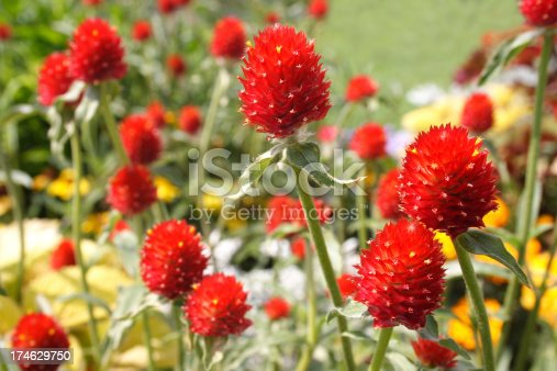 Strawberry-shaped scarlet red flowers of globe amaranth