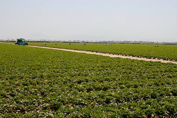 Strawberry Fields Strawberry fields in Oxnard, CA with workers in a flourishing agricultural area for this fruit, home of a Strawberry Festival migrant worker stock pictures, royalty-free photos & images