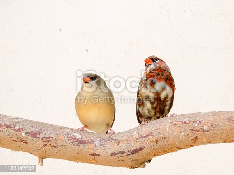 Strawberry finch or red avadavat or red munia