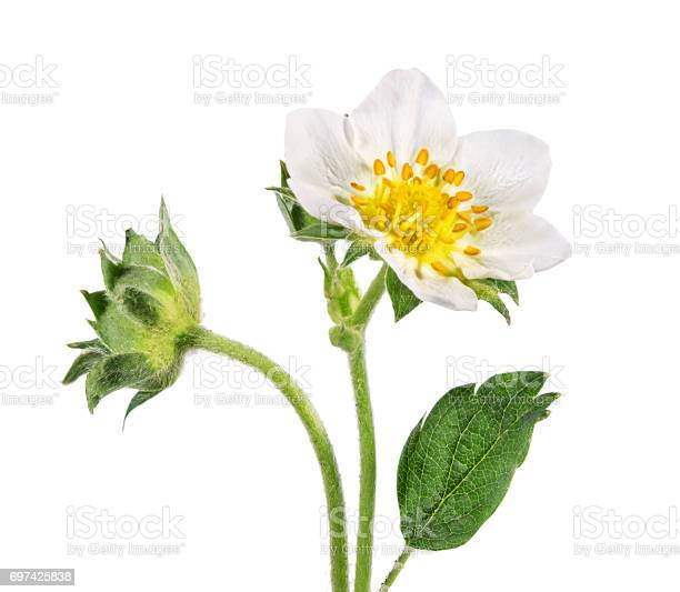 Strawberry flower isolated on white picture id697425838?b=1&k=6&m=697425838&s=612x612&h=sivy7wzp6hkgzri tj9qmxptgwn ohlwnsfrkxum mk=