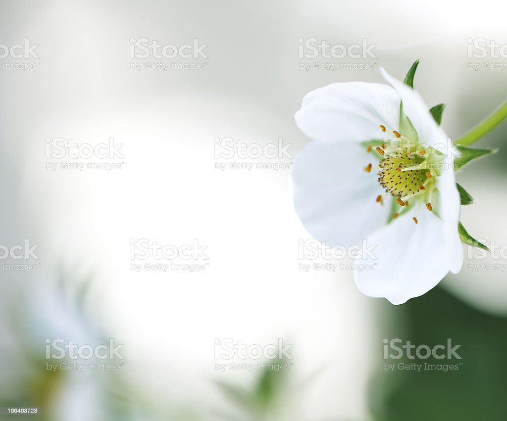strawberry flower royalty-free stock photo