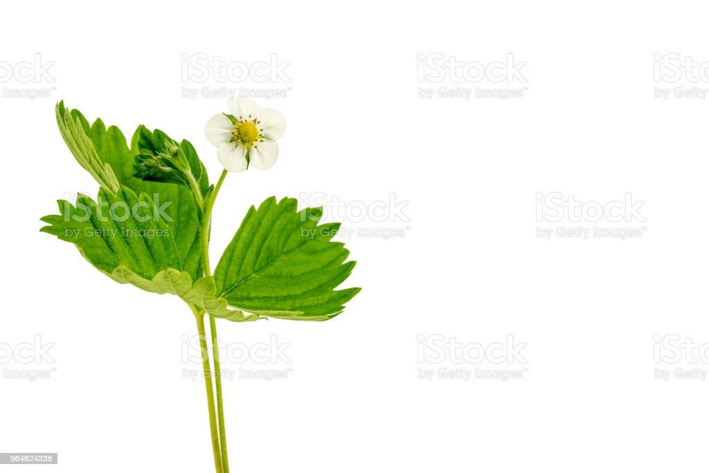 Strawberry Flower With Green Leaves royalty-free stock photo