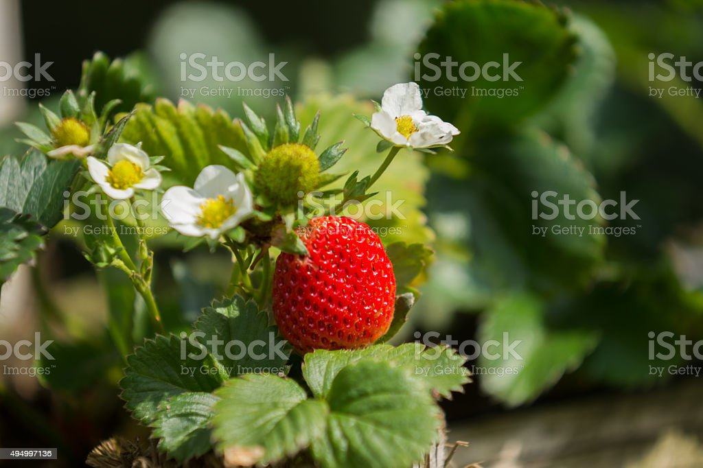 strawberry fruit and flower stock photo