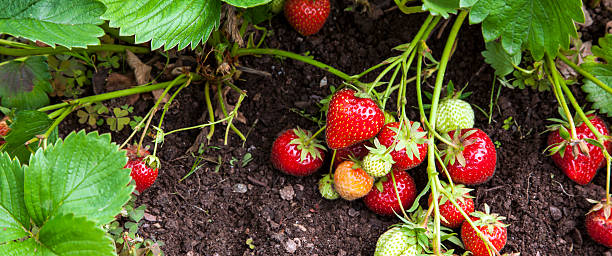 Strawberry fruits growing in garden - panorama header. Strawberry plants and fruits growing in garden, some ripe and red, others green, gardener's delight - panorama / banner / header. strawberry field stock pictures, royalty-free photos & images