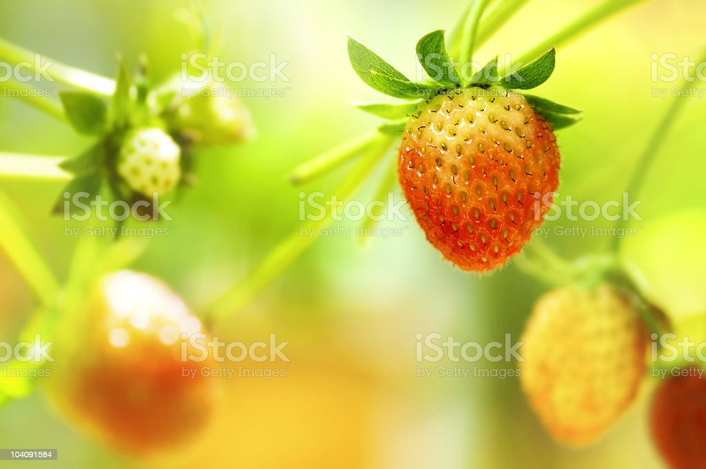 Strawberry fruits on the branch stock photo
