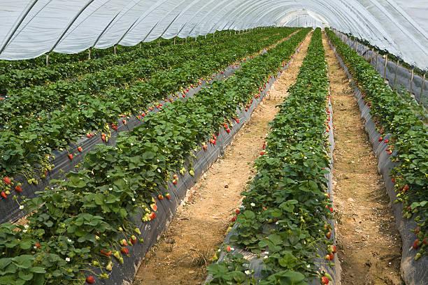 strawberry furrows – Foto