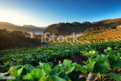 istock Strawberry garden and beautiful view 532058732