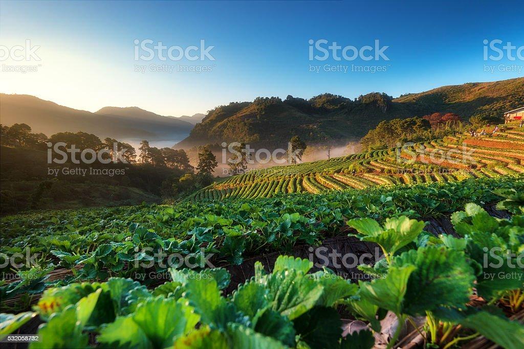 Strawberry garden and beautiful view stock photo