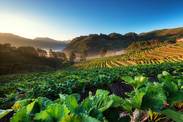Strawberry garden and beautiful view stock photo