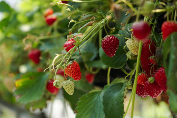 Strawberry Garden Strwaberry Garden in Izu Japan strawberry field stock pictures, royalty-free photos & images