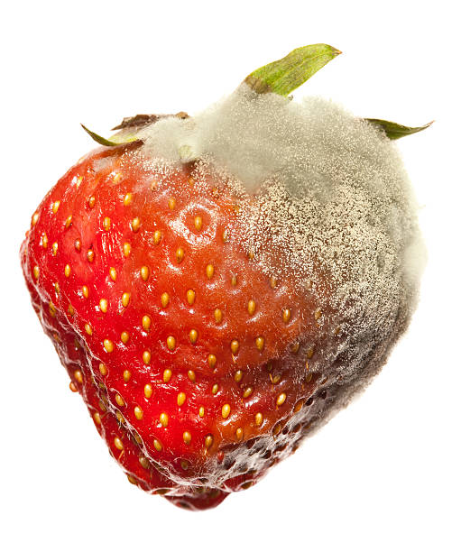 Strawberry Gray Mold disease Diseased strawberry with mold started from one corner,, other half is intact. rotting stock pictures, royalty-free photos & images