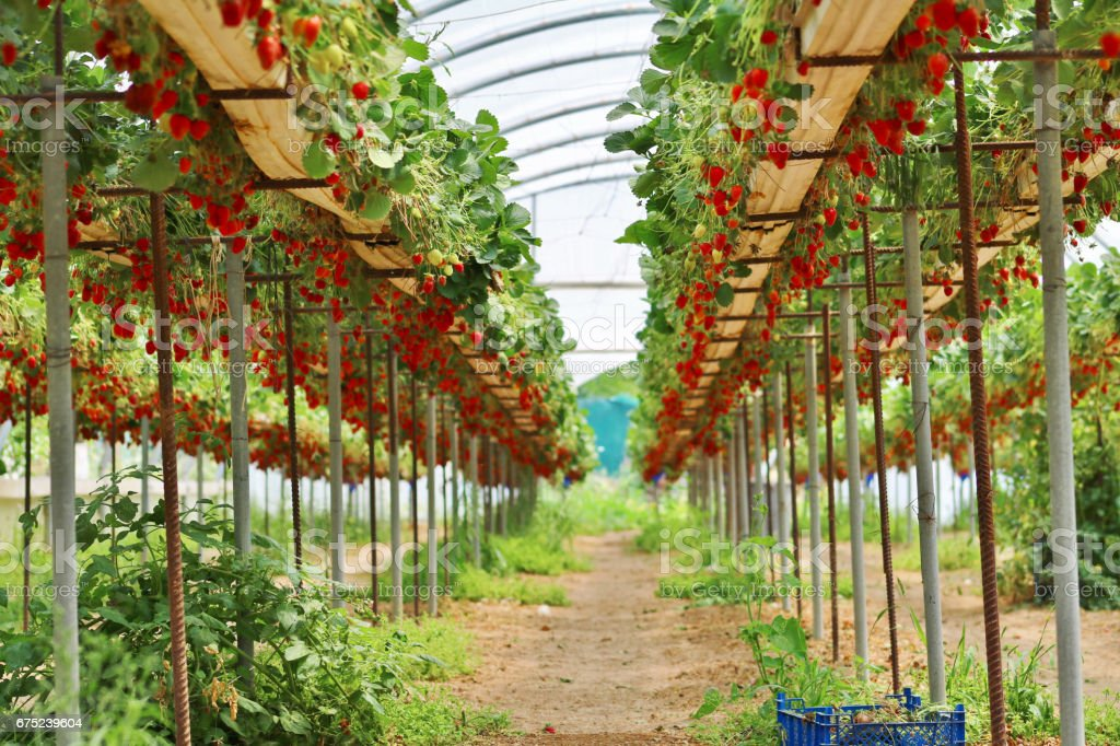 Strawberry greenhouse rows royalty-free stock photo