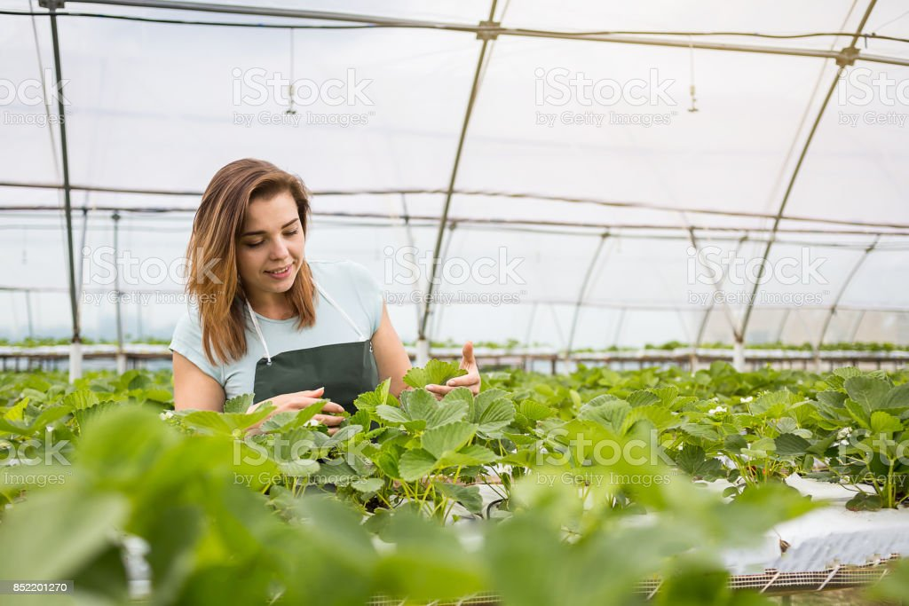 Strawberry growers with harvest,Agricultural engineer working in the greenhouse.Female greenhouse worker with box of strawberries,woman picking berrying on farm,strawberry crop concept stock photo