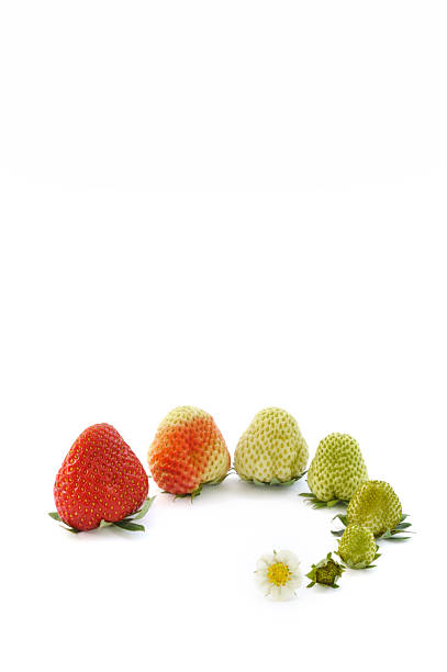 Strawberry growth isolated on white stock photo