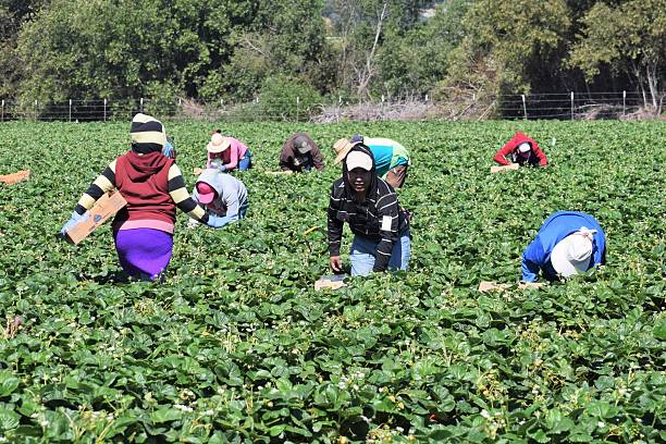 Strawberry Harvest in Central California Salinas, California, USA - June 19, 2015: Seasonal farm workers pick and package strawberries. migratory workers stock pictures, royalty-free photos & images