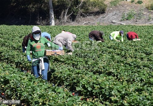 Salinas, California, USA - June 19, 2015: Seasonal farm workers pick and package strawberries.
