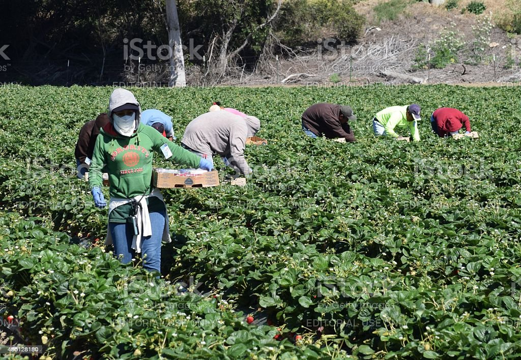 Strawberry Harvest in Central California stock photo