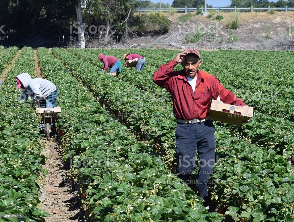 Strawberry Harvest in Central California Salinas, California, USA - June 19, 2015: Seasonal farm workers pick and package strawberries. 2015 Stock Photo