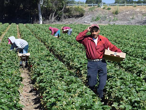 Strawberry Harvest in Central California Salinas, California, USA - June 19, 2015: Seasonal farm workers pick and package strawberries. immigrant stock pictures, royalty-free photos & images