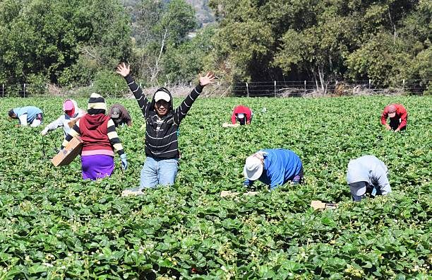 Strawberry Harvest in Central California Salinas, California, USA - June 19, 2015: Seasonal farm workers pick and package strawberries migratory workers stock pictures, royalty-free photos & images