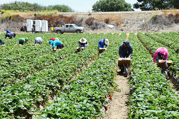 Strawberry Harvest in Central California Salinas, California, USA - June 30, 2015: Seasonal farm workers pick and package strawberries migratory workers stock pictures, royalty-free photos & images