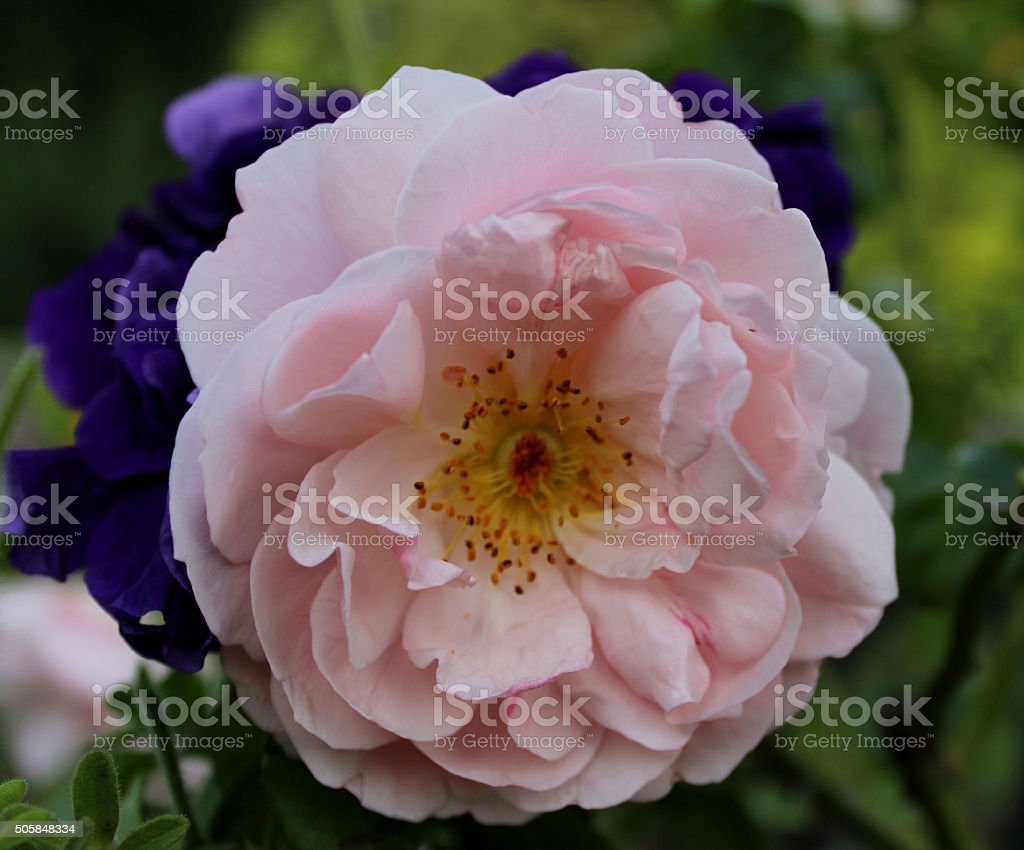 'Strawberry Hill' an English Rose stock photo