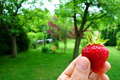 Strawberry picked up in garden, healthy seasonal fruit