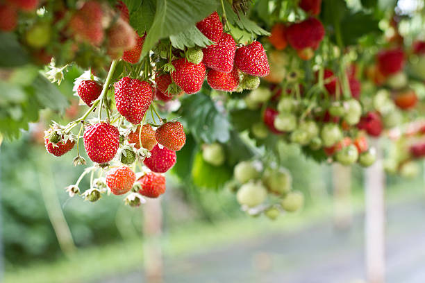 Strawberry in the farm Strawberries farming strawberry field stock pictures, royalty-free photos & images