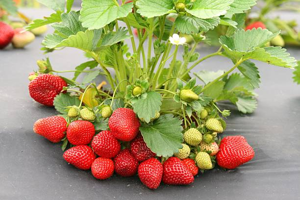 strawberry in vine ready to pick stock photo