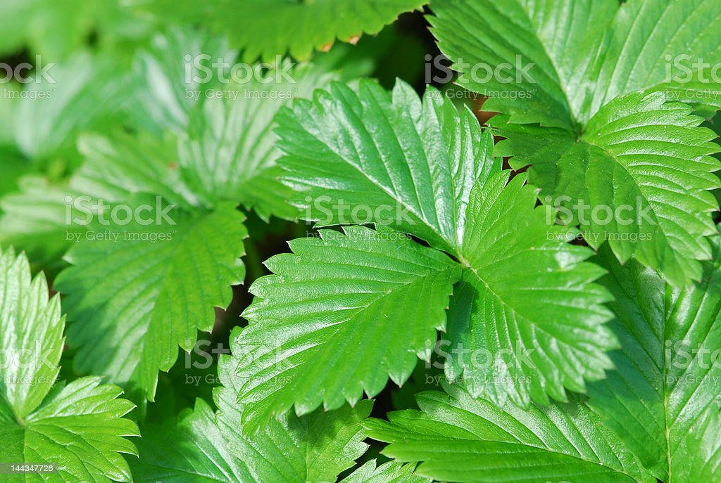 strawberry leaf stawberry leaf in garden Bush Stock Photo