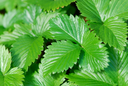 Strawberry Leaf Stock Photo - Download Image Now