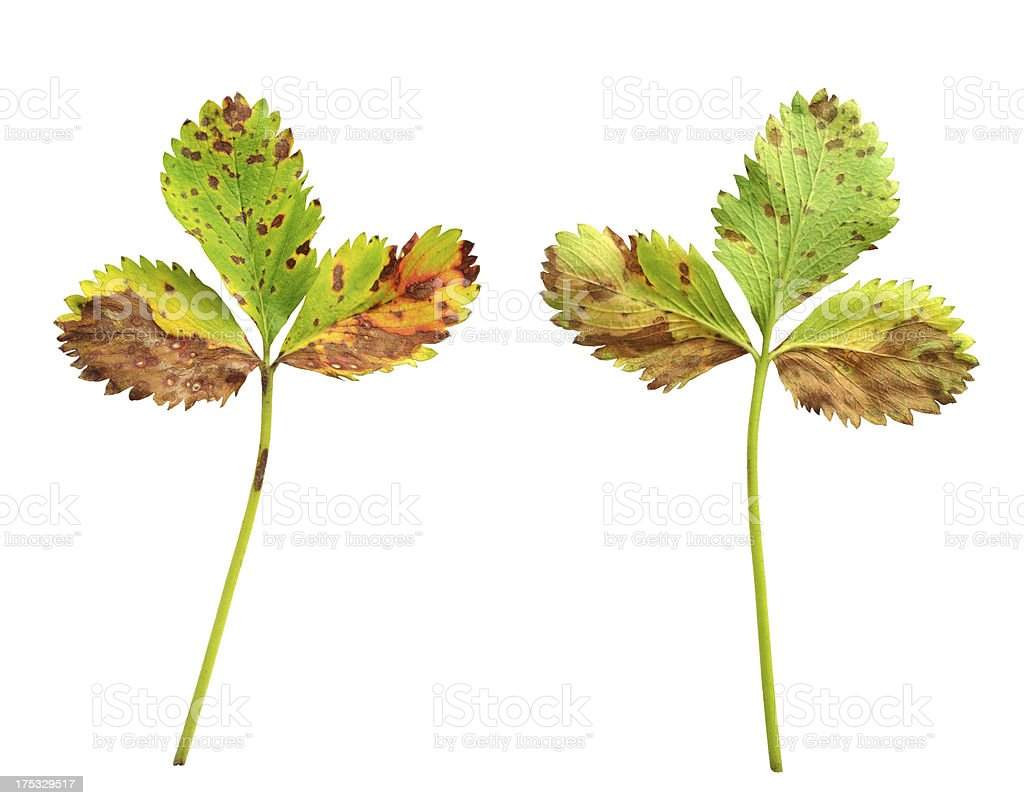 Strawberry leaf with the fungal disease stock photo