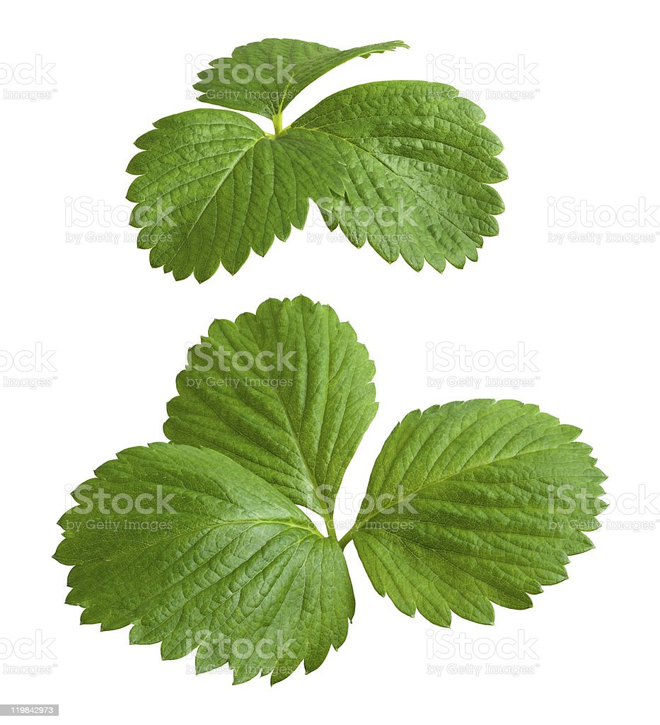 Strawberry Leaves isolated on a white background royalty-free stock photo