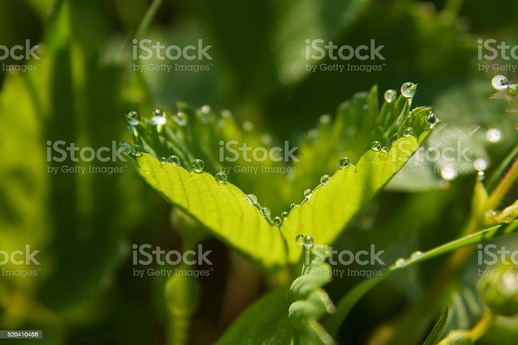 Клубничный листья с красивые Роса падает. Мягкий «фокус» стоковое фото