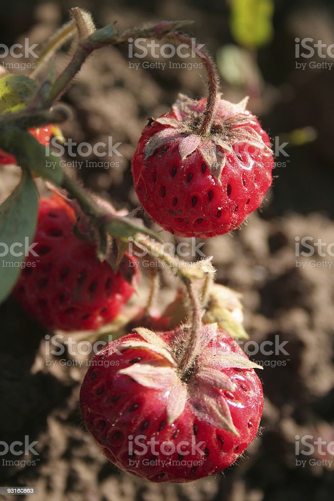 strawberry on branch royalty-free stock photo
