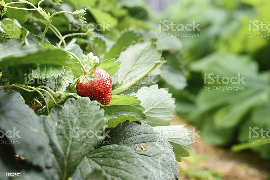 strawberry on the tree royalty-free stock photo