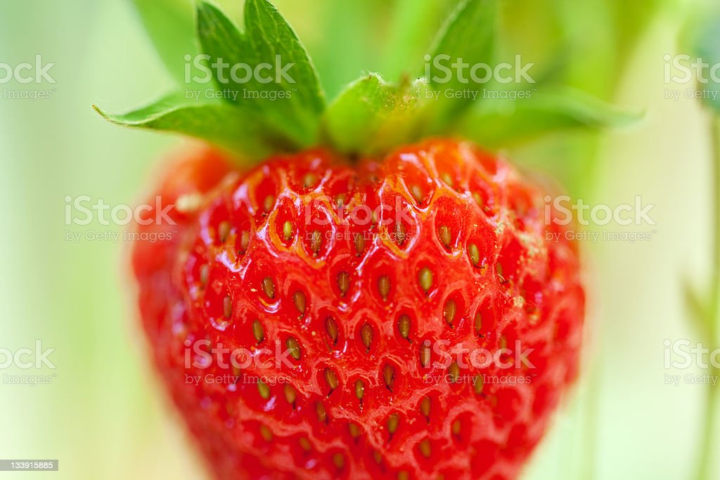 Strawberry on the Vine royalty-free stock photo