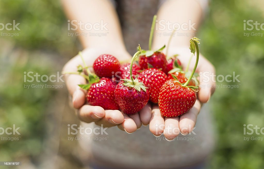 strawberry on woman hands stock photo
