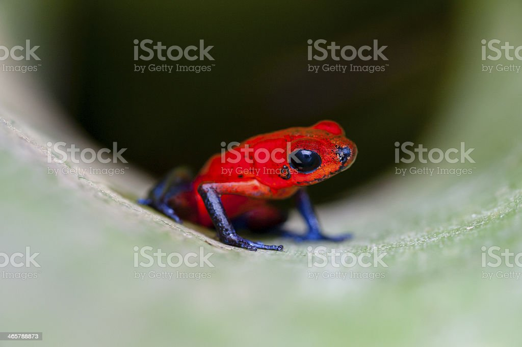 Strawberry or Blue Jeans poison dart Frog in bromeliad plant stock photo