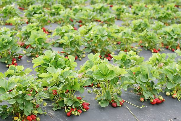 strawberry patch ready for picking stock photo